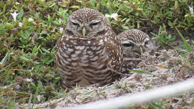 Burrowing owls are one of Florida's smallest owls and nest in holes in the ground. Taken on a Rotary Park trip.