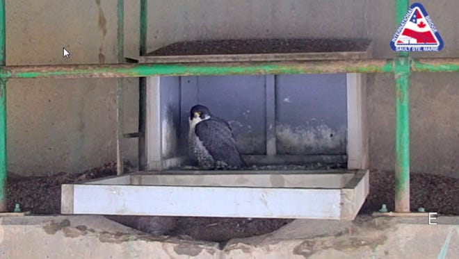 A peregrine falcon seen through a live camera on March 29, 2018 on a recently installed at the Sault Ste. Marie International Bridge