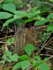 Red squirrels are one of the few small mammals that were able to make the treacherous crossing on Lake Superior and get to Isle Royale. By their incessant scolding, you'd think that they now own the place!