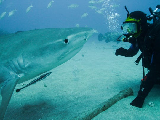 Marine biologist Greg Skomal is face to face with a tiger shark off Florida.