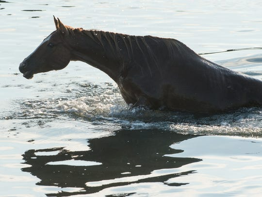 The first horse to emerge from the water makes its