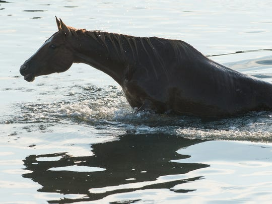 The first horse to emerge from the water makes its way on land during the Chincoteague Pony Swim on Wednesday, July 26, 2017.