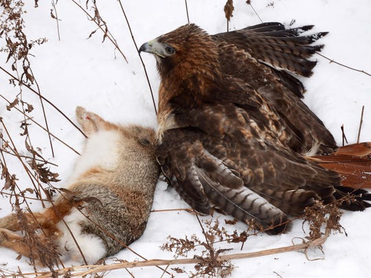Nala, a red-tailed hawk, batted about .400 on cottontail