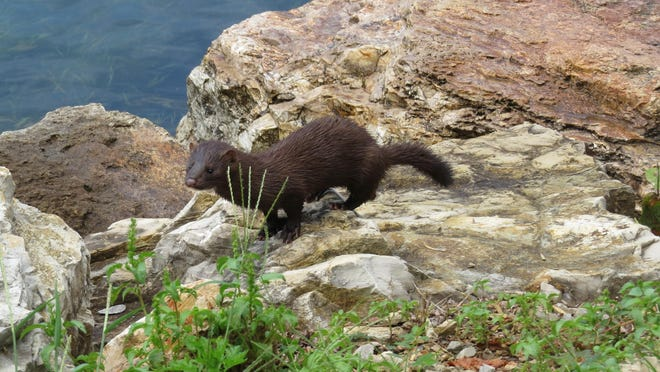 Beverly Carter took this photo of a mink Friday on the ramp of the White River near Cotter
