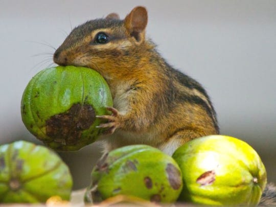 A chipmunk hoards hickory nuts for the long winter