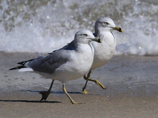 Seagulls walk in unison as waves crash along the beach in Sea Bright.