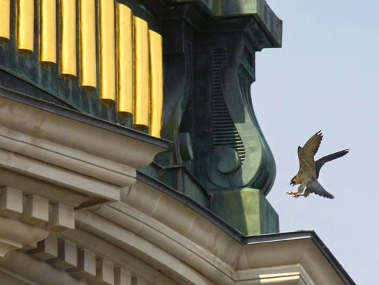 An adult male perigrine falcon lands at the base of