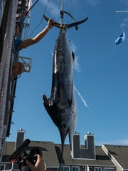 The first place white marlin brought in by the crew of the Wire Nut during the White Marlin Open is weighed on Friday, Aug. 11, 2017. The 95.5-pound marlin is the third largest in tournament history.