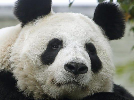 Britain Pregnant Panda