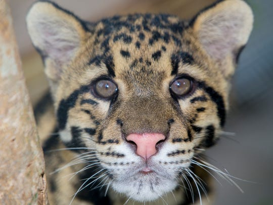 A new rare clouded leopard at the Naples Zoo.