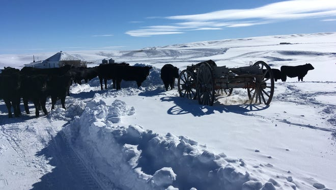 As snow continues to pile up at the Graham Ranch, Lisa Schmidt has changed her feeding location strategy from feeding where fertilizer will help the grass to feeding where the livestock will pack the snowdrifts so she can drive out to the county road.
