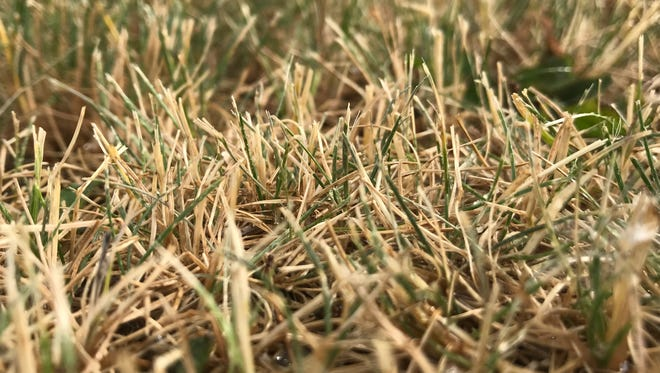 Grass is turning brown from lack of rain.