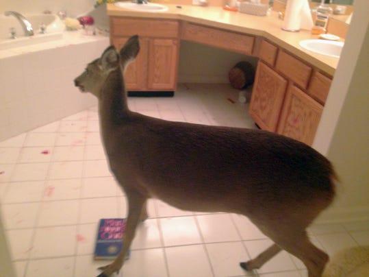 Deer Ransacks Bathroo_Hert.jpg