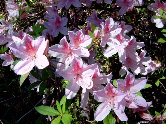 Live in la there s an azalea or two for you for Cura azalea