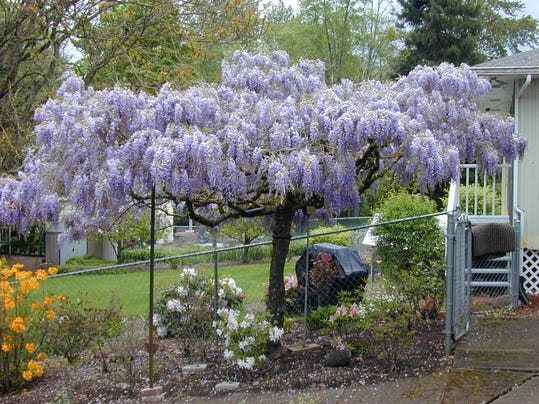 master gardener q u0026a  how to grow wisteria into tree