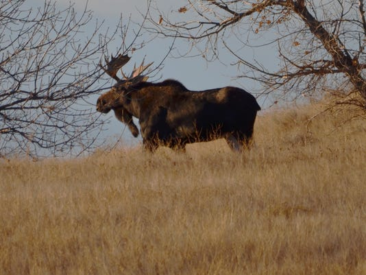 -moose photo two.jpg_20151130.jpg