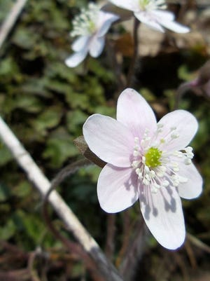 Rue anemone blooms at the Cross Plains Ice Age Complex.
