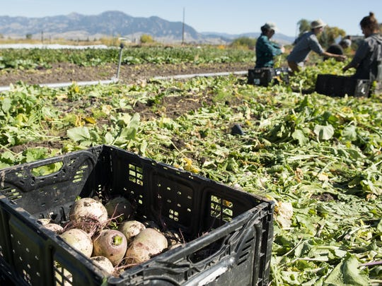 Workers harvest black Spanish radishes at Strike Farms,