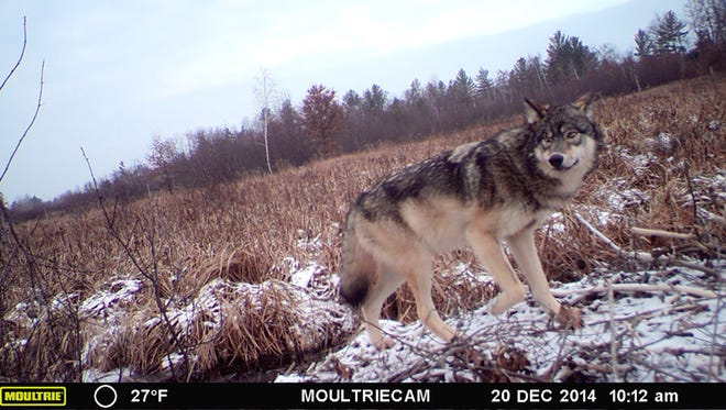A wolf captured on a trail camera.