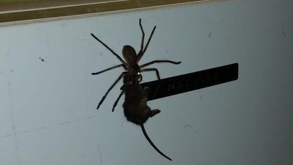 Australian man Jason Womal filmed this spider attempting