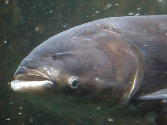 635876361232442608-DFP-Asian-carp-bill-1-1-JBA2RQQI-L571328877.JPG