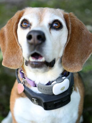 Lucy, a beagle owned by Pat May of Pleasanton, Calif., wears two tech devices — Tagg, a pet tracker, and Voyce, for monitoring pet activity levels — on Feb. 24.