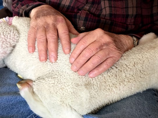 Lost lamb finds home with Great Falls grandparents