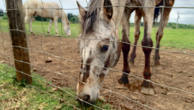 Lighthouse Farm Sanctuary gelding Copper is learning his way around the pasture fences.