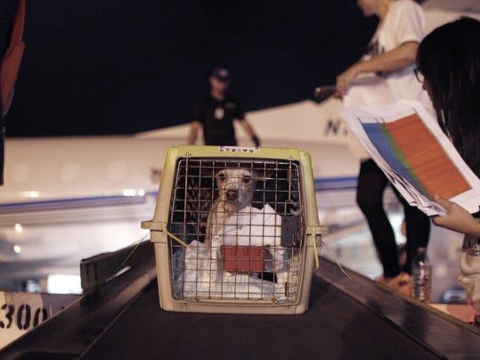 APTOPIX Puerto Rico Dog Airlift (2)