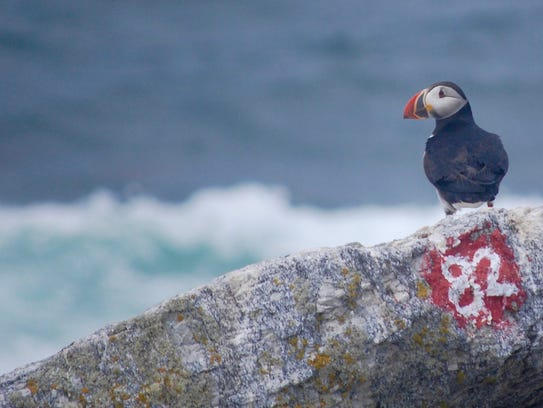 Red markings on the rock mark an active Atlantic puffin