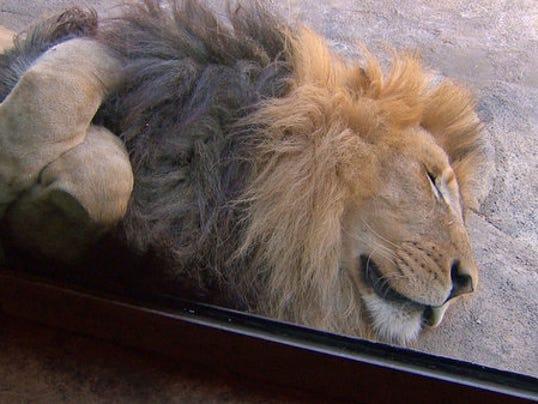 0824_zoo_lions004