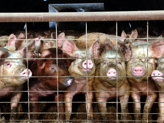 The meat industry is suing California over a 2018 proposition that imposes minimum space requirements on growers wishing to sell animal products in the Golden State. The first set of regulations will take effect on Jan. 1. AP FILE - In this Jan. 4, 2005 file photo, a group of young pigs stare out of a pen at a hog farm in central North Dakota.