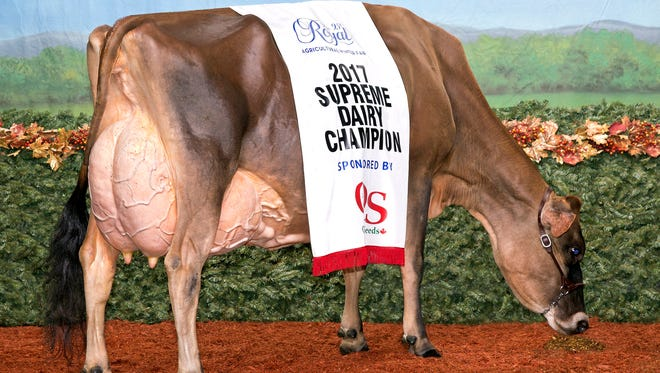 The American Jersey Cattle Association has upgraded MilkSource bovine Musqie Iatola Marthato the elite EX-97 score, making her only the seventh Jersey in history to achieve the score.