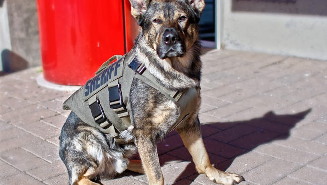 K-9 Deputy Astor wearing his new protective vest on Monday. Astor has been with the sheriff's office about 18 months.