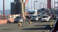 Deer cross the Golden Gate bridge, in San Francisco, snarling traffic.
