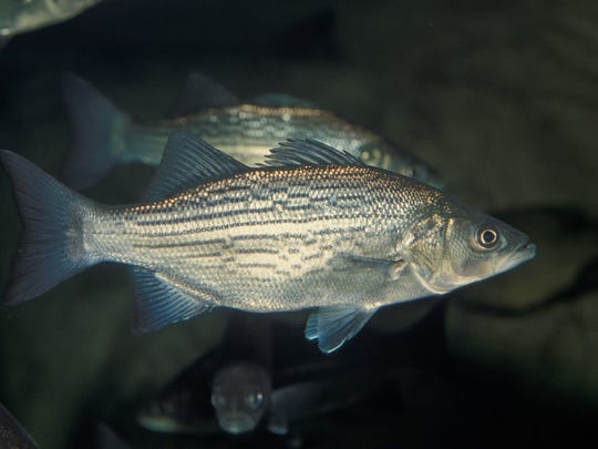 A white bass on the prow.