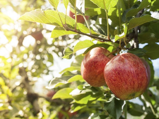 Sample or press your your ownhard cider and enjoy family-friendly games during the Heritage Applefest at Boscobel Gardens, Oct. 6.