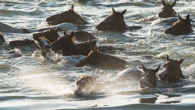 Ponies swim towards Chincoteague during the Chincoteague Pony Swim on Wednesday, July 26, 2017.