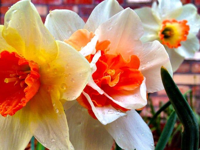 Daffodils bloom in Great Falls, April 30