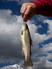 An Apache trout caught at Lee Valley Reservoir.