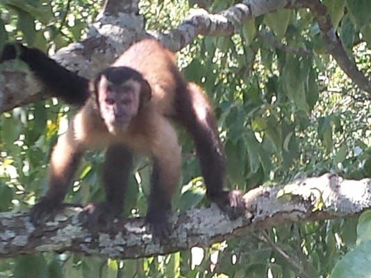 Pet monkey on the loose in North Knoxville
