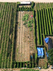 In this Oct. 12, 2011 file aerial photo, sheriff officers eradicate marijuana in the middle of a field growing next to farmland in Sanger, Calif.