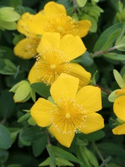 A bright and sunny groundcover to trail its way through