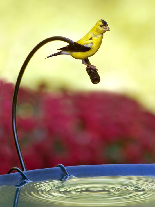 Male American Goldfinch on Dripper
