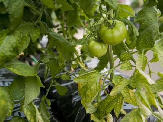 Another outside-the-garden-bed approach is to grow tomatoes, peppers or eggplants in bags of soil rather than in the ground.