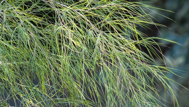Bamboo muhly leaves are thread-like and catch the slightest breeze, swaying or dancing with perpetual motion.