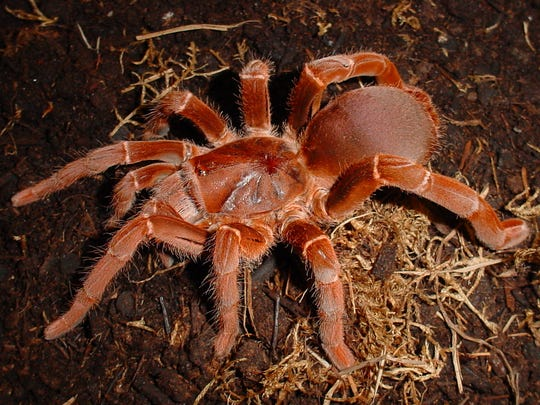 Tarantulas: Alive and Up Close will open at the Academy of Natural Sciences of Drexel University on Saturday, Jan. 30.