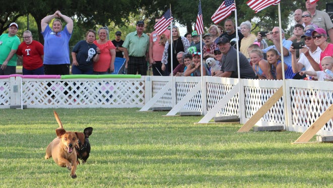 Chevy made it four straight Thursday evening when he won the annual Dachshund Races at the Festival Gardens in Nelson Park. Three times Chevy was first across the finish line, including the finals. He had some help from his human crew, Kolby and Taylor Barnhill.