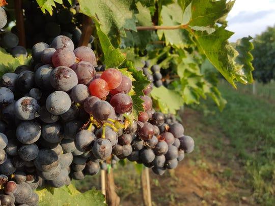 Montepulciano d'Abruzzo grapes on the vine at Marramiero