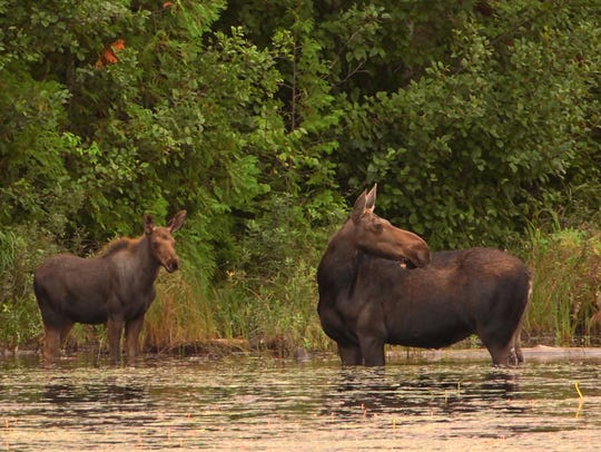 A cow moose and her calf stand in an inland lake at